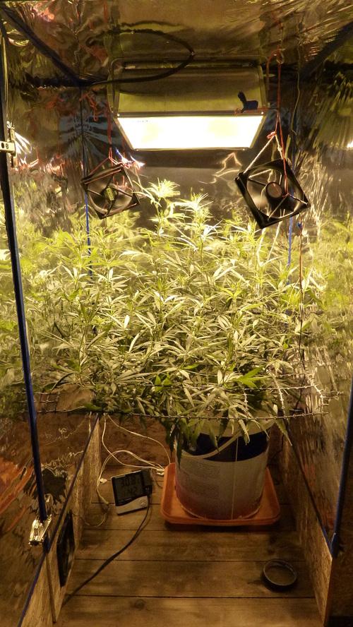 Seguimiento Primer planta en indoor con lst y scrog